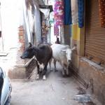 バラナシがどんなところかって?牧場でありゴミ捨て場でありインドで一番ウザいところだよ!